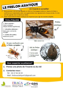 Frelon asiatique : insecte à surveiller !!!